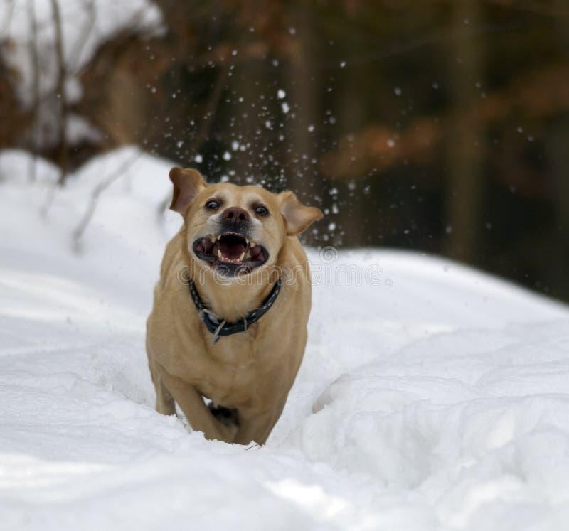 Labrador-Apportierhund lizenzfreies stockfoto