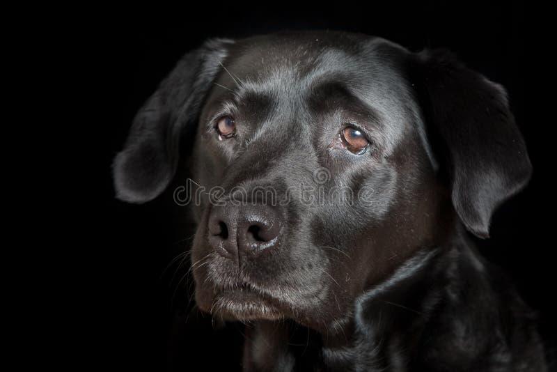 Labrador-Apportierhund-Portrait stockbild
