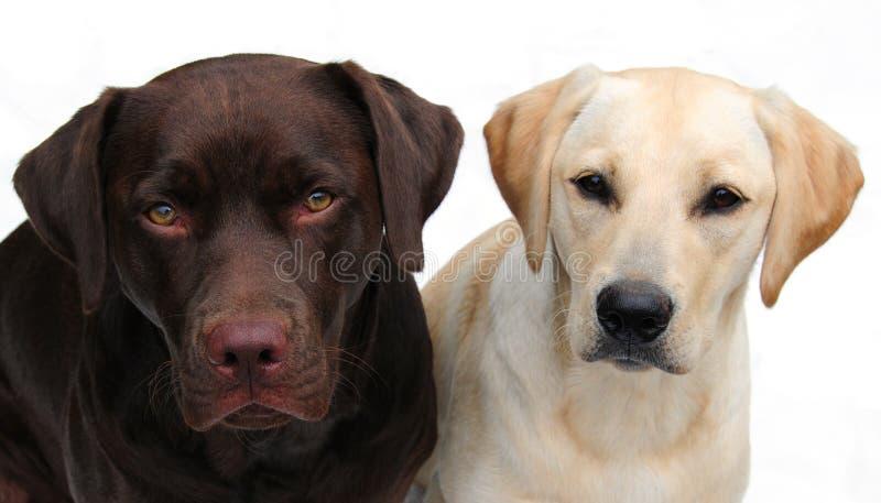 Labrador-Apportierhunde lizenzfreie stockbilder