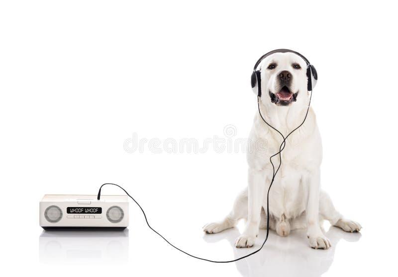 Labrador ascolta musica fotografia stock libera da diritti
