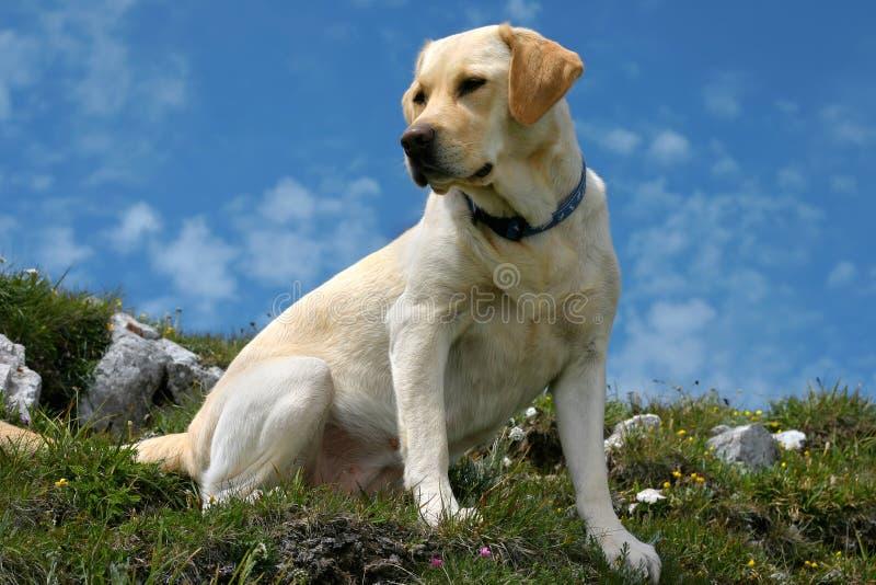 Labrador auf die Oberseite lizenzfreie stockfotos