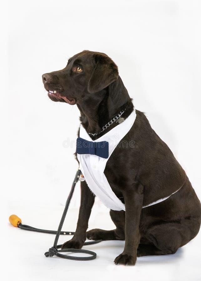 Labrador auf weißem Hintergrund stockbilder