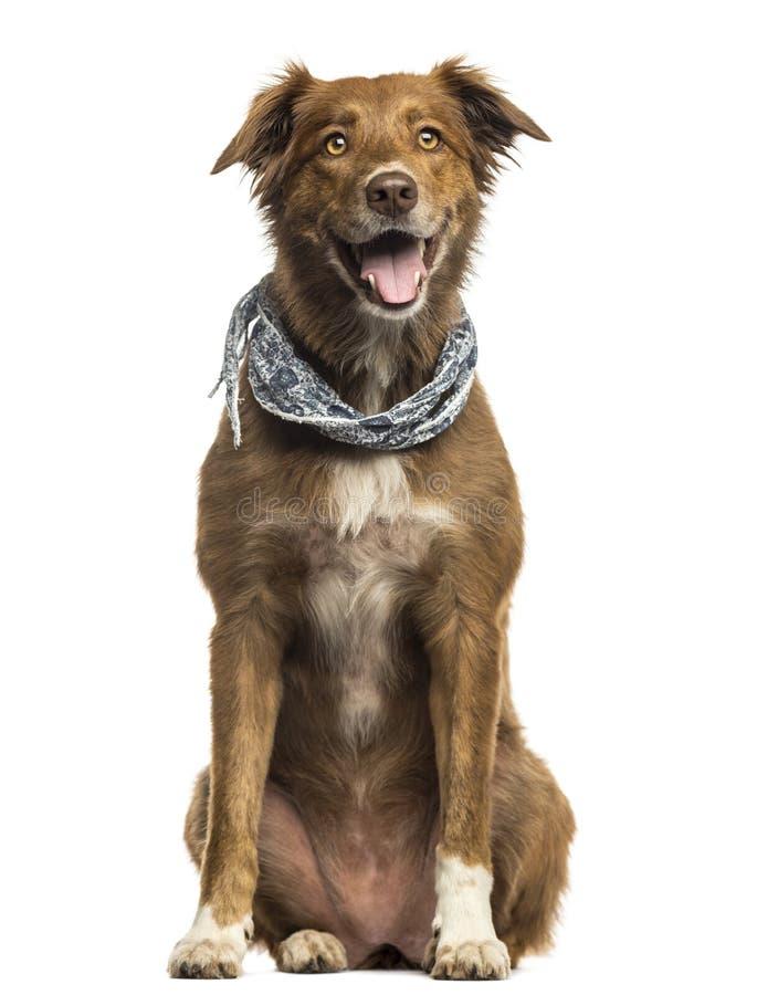 Labrador Australian Shepherd crossbreed dog stock photos