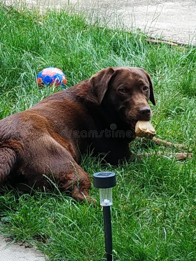 Labrador avec l'os à la maison en Hongrie photos libres de droits