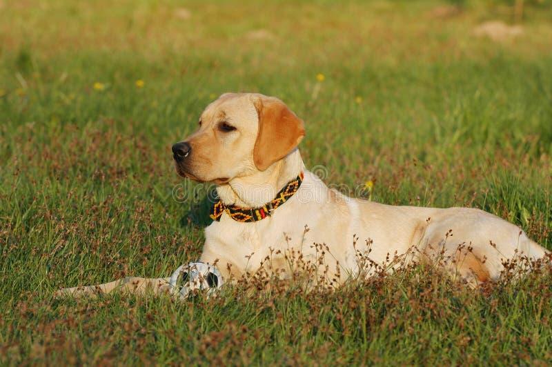 Labrador with ball royalty free stock photo