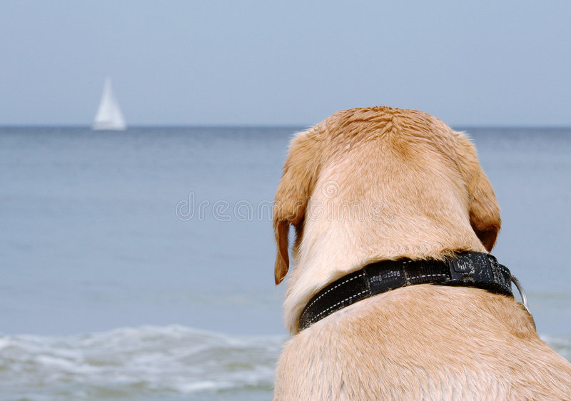 Labrador on the beach royalty free stock images