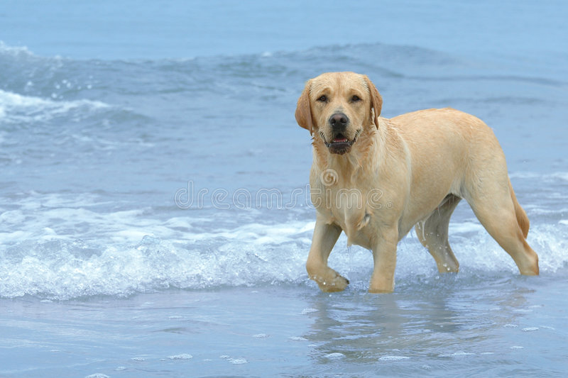 Download Labrador on the beach stock photo. Image of waves, walking - 1334540