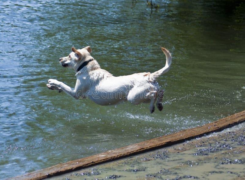 Labrador Belly Flop. Yellow Labrador Retriever jumping into water at a dog park. He flies through the air on a hot summer day to retrieve a ball stock photography