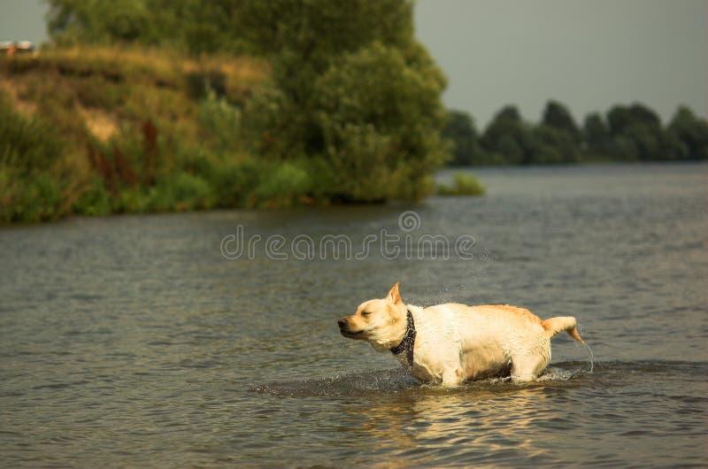 Labrador Brus 2 arkivbild