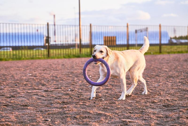 Labrador carries toy in teeth, wagging his tail. White Labrador dog with ginger brown hue carries toy in teeth, wagging his tail, running across field. Close-up stock photography