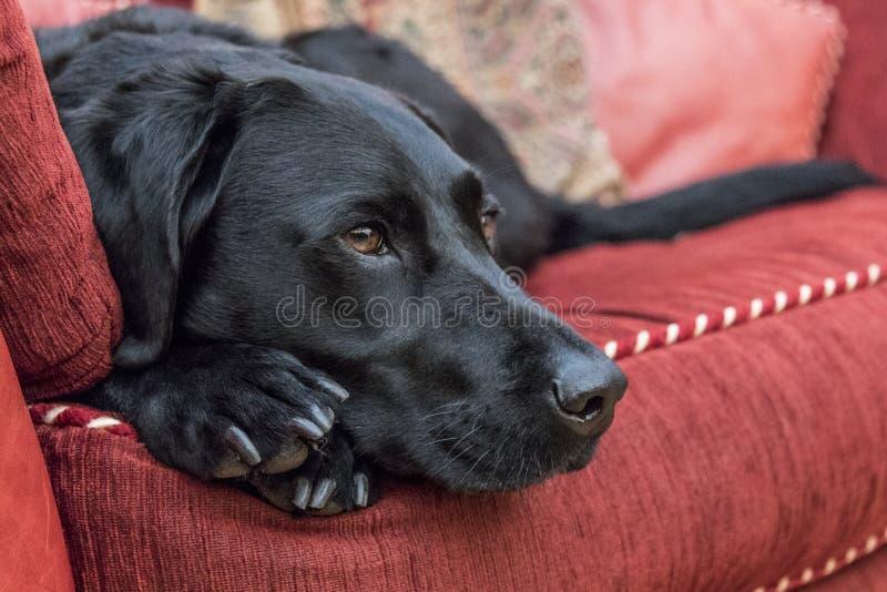 Labrador che riposa sul sofà immagini stock libere da diritti