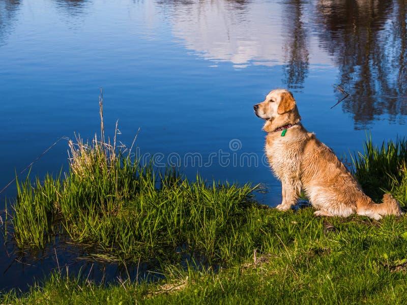Labrador che si siede su una sponda del fiume fotografia stock