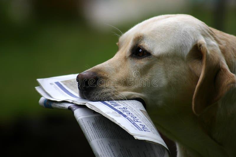 Labrador con noticias fotos de archivo