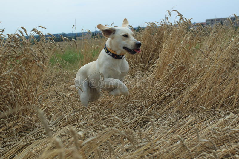 Labrador d'or courant image libre de droits