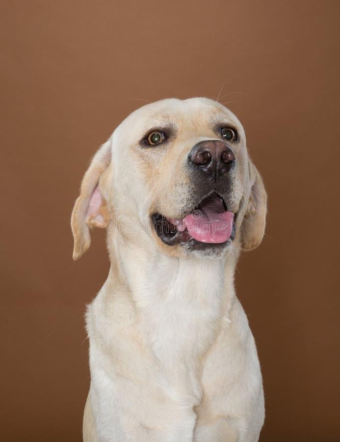 Labrador, das in einem Studio aufwirft lizenzfreies stockbild
