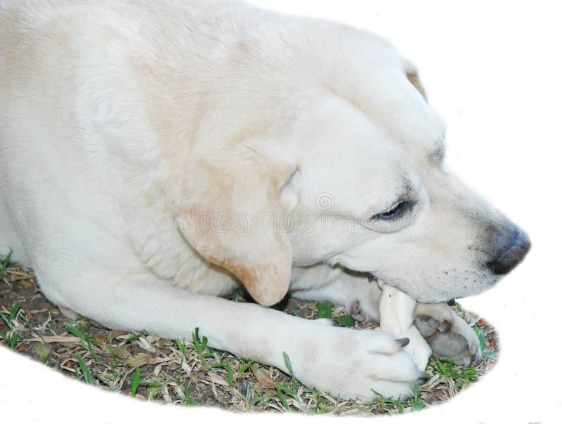 Labrador, das seinen Knochen beißt. stockfotografie