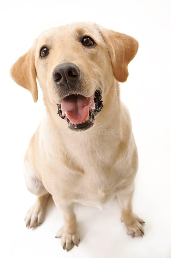 Labrador de assento fotografia de stock royalty free