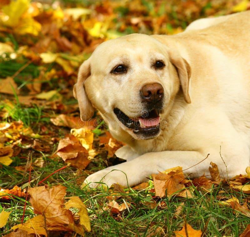 Labrador in den Herbstblättern. stockbild