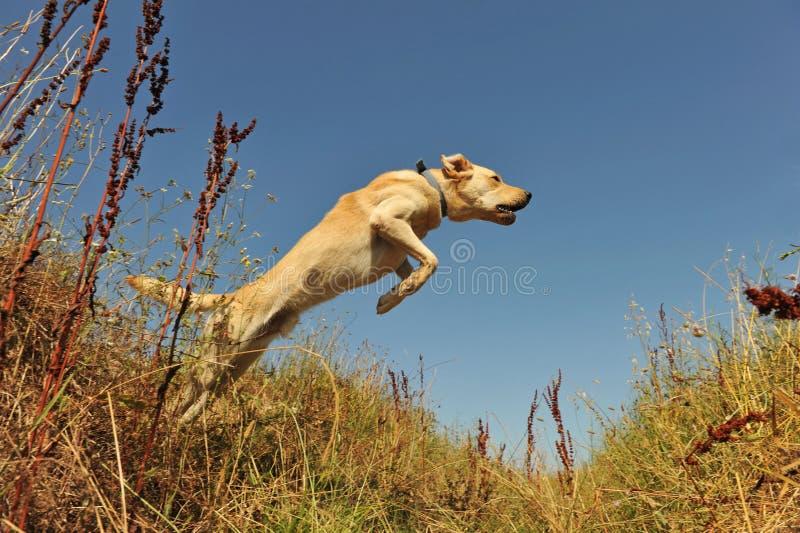 Labrador di salto fotografie stock