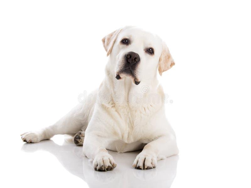Labrador die op vloer liggen royalty-vrije stock afbeeldingen