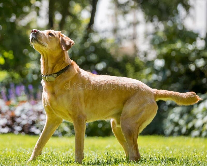 Labrador die zich klaar op gras die omhoog op een zonnige dagtong uit kijken bevinden royalty-vrije stock fotografie