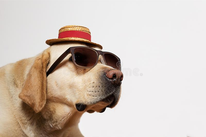 Labrador die zonnebril en hoed dragen royalty-vrije stock afbeelding