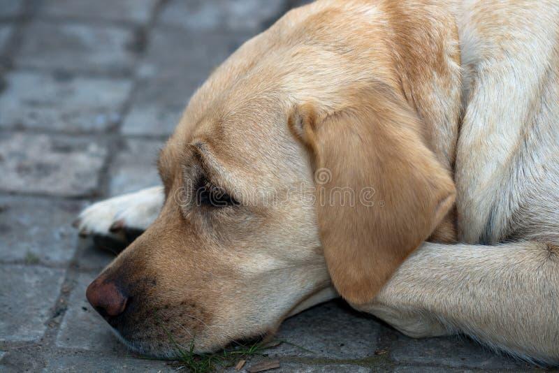 Labrador (documentalista) fotografia stock libera da diritti