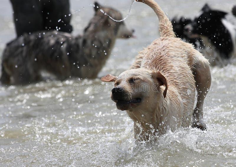 Download Labrador dog stock image. Image of animal, group, labrador - 15692365