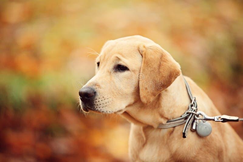 Labrador Dog Royalty Free Stock Photos