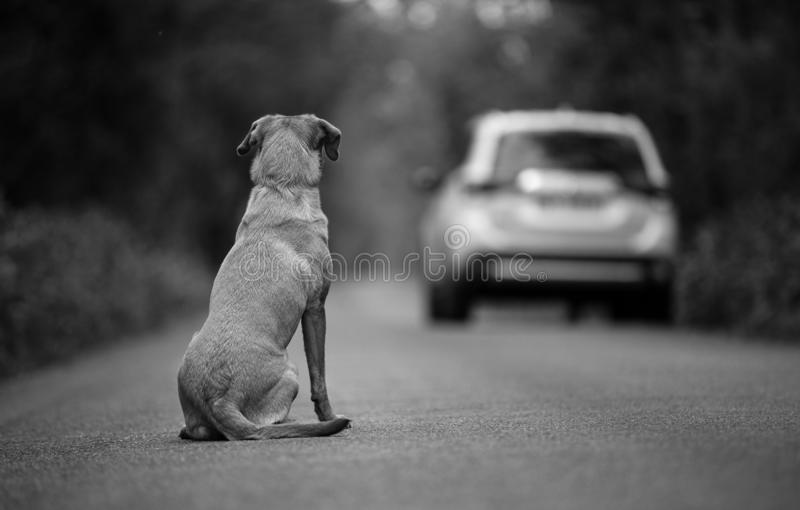 Labrador dog abandoned on the road. In the background leaving the car stock photos