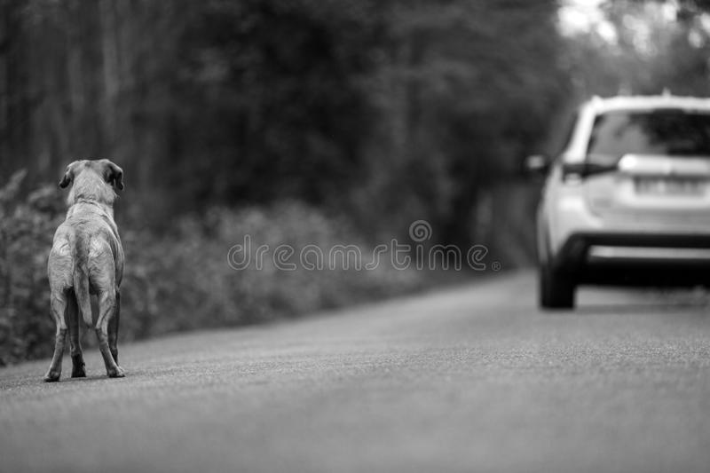 Labrador dog abandoned on the road. In the background leaving the car stock image