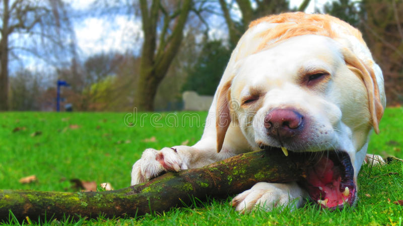 Labrador dog chewing on branch stock image