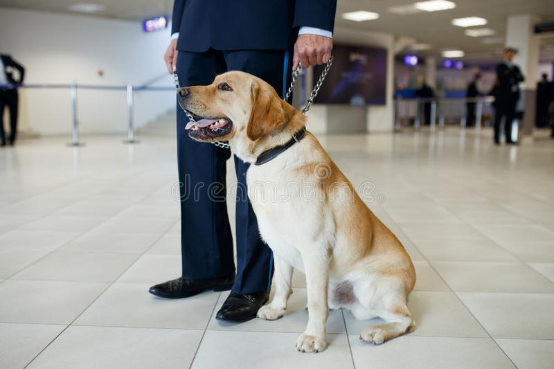 A Labrador dog for detecting drugs at the airport standing near the customs guard. Horizontal view. Image of a Labrador dog for detecting drugs at the airport stock photos