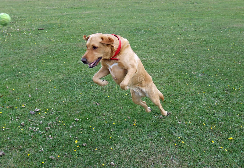 Download Labrador Dog Jumping In The Air Stock Photo - Image of labrador, attention: 44729652