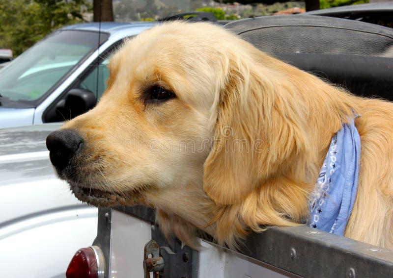Labrador royalty free stock photography