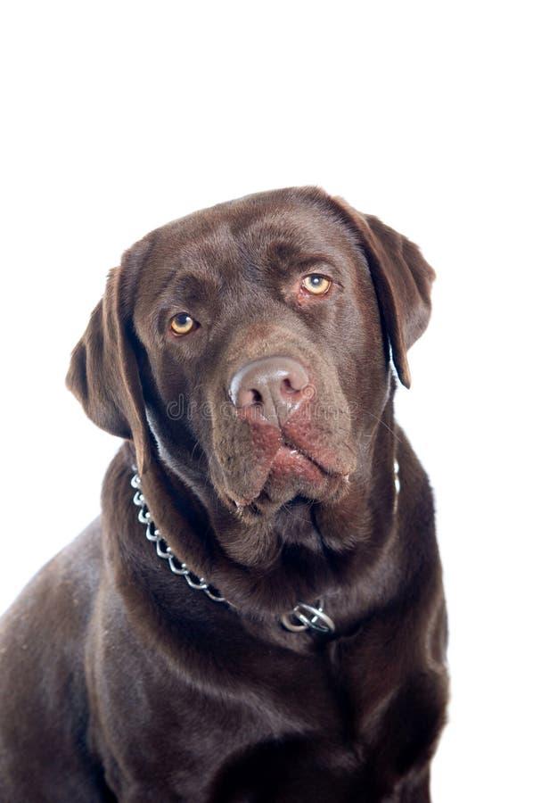 Labrador dog portrait royalty free stock photo