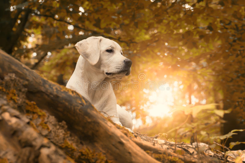 Labrador dog puppy in forest during an autumn walk stock photo