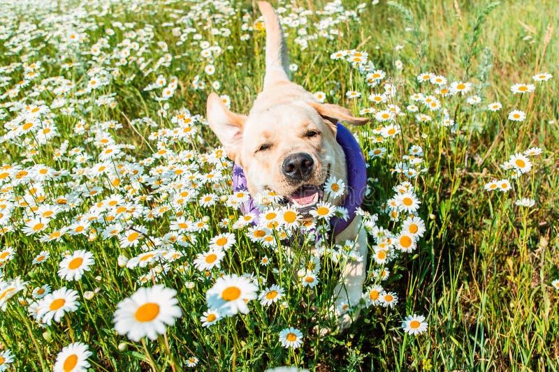 Labrador dog running in camomilesv royalty free stock photos