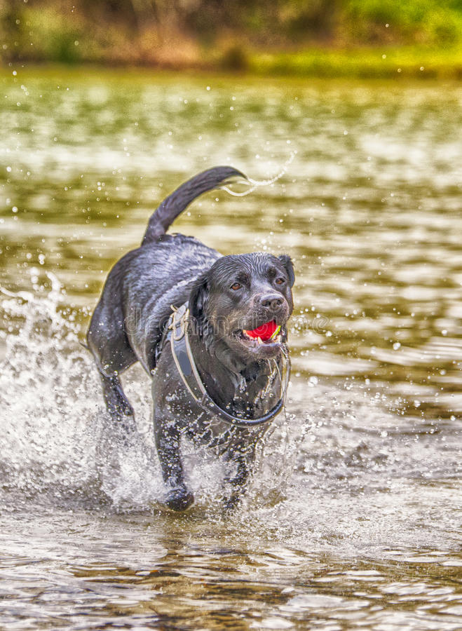 Labrador dog running in water. Playing with ball stock image
