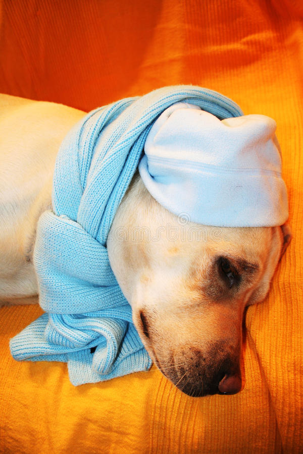 A Labrador dog is sick. The dog has a cloth around his head and lying on a blanket orange royalty free stock photo