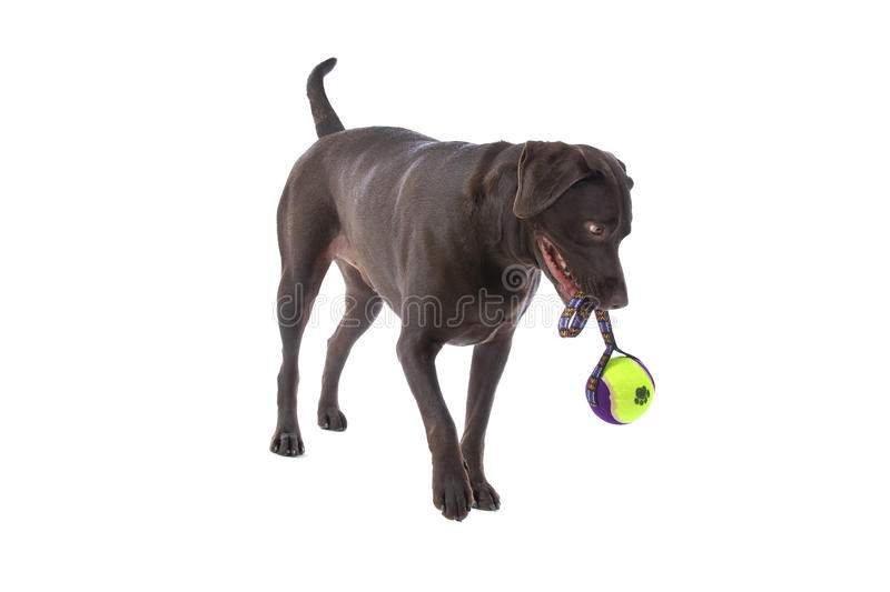 Labrador Dog With Toy Stock Photography