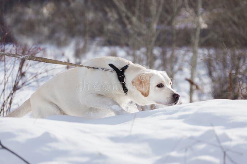 Labrador dog walking on snow royalty free stock photography