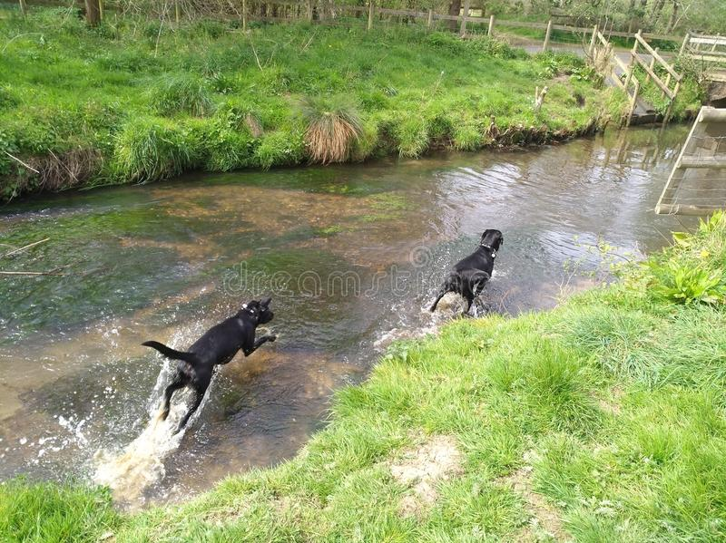 Labrador dog walking water royalty free stock photography