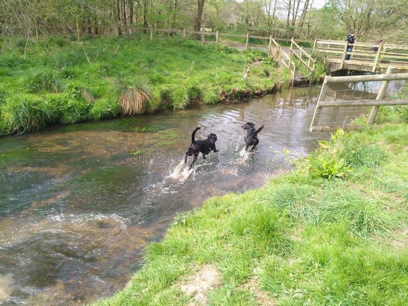 Labrador dog walking water stock photo