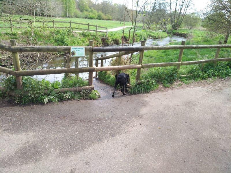 Labrador dog walking water royalty free stock photo