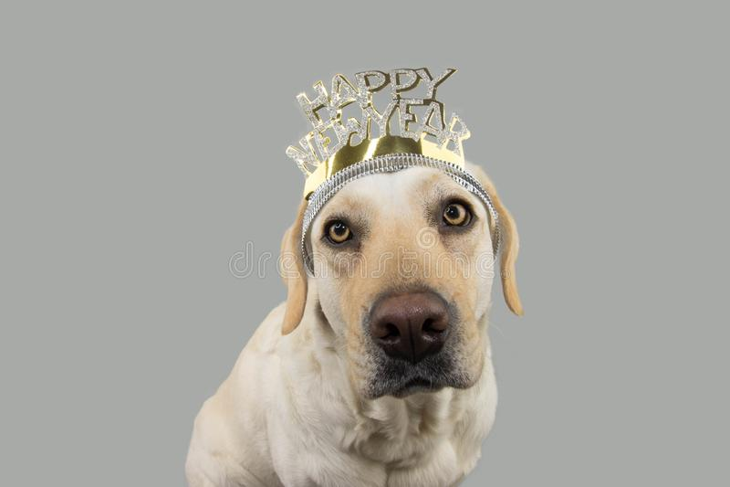 LABRADOR DOG WEARING A A TEXT DIADEM OF HAPPY NEW YEAR. ISOLATED SHOT AGAINST GRAY COLORED BACKGROUND stock image