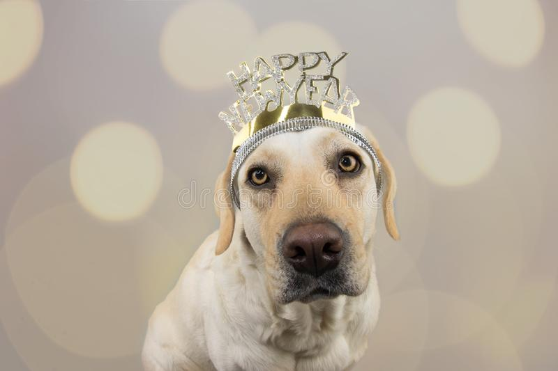 LABRADOR DOG WEARING A A TEXT DIADEM OF HAPPY NEW YEAR. ISOLATED SHOT AGAINST GRAY COLORED BACKGROUND WITH DEFOCUSED OVERLAYS royalty free stock photos