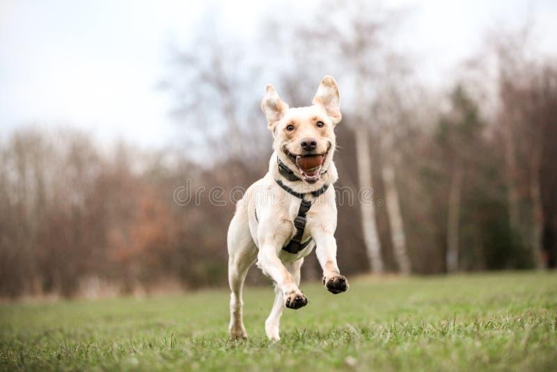 Labrador dorato fotografia stock libera da diritti