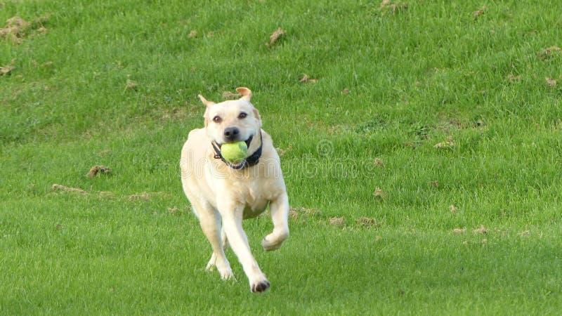 Labrador dourado imagem de stock royalty free