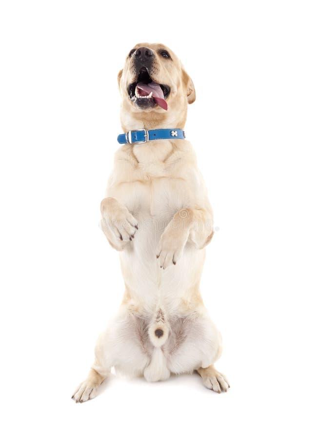 Labrador effectuant un tour photos libres de droits